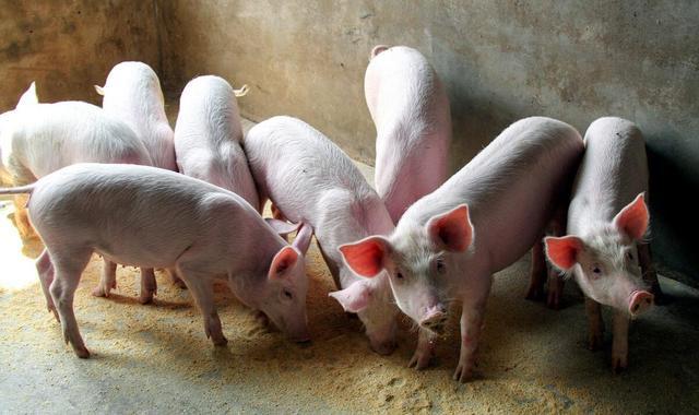 猪1.jpeg
