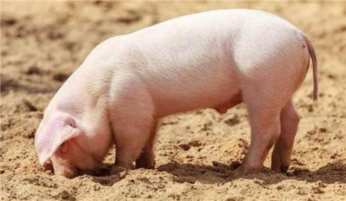 猪5.png