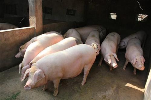 饲养小猪和母猪需要注意这几点1.png