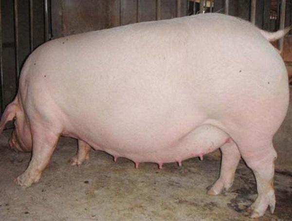 母猪.jpg