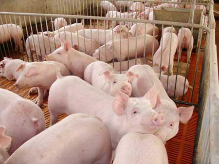 养猪2.jpg