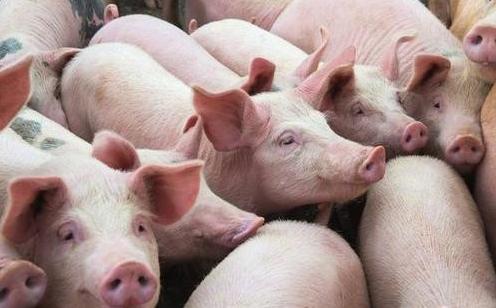 养猪1.jpg