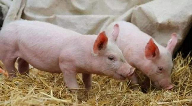 猪图1.jpg