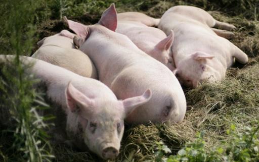 猪流感,这病传播力度比猪瘟还强,强烈预警!!2.png