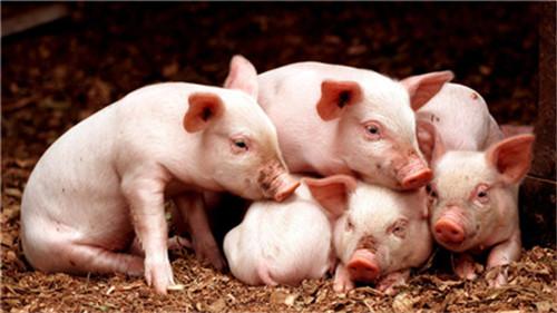 非洲猪瘟意想不到的传播途径.png