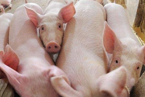 母猪配种后一定注意这五点!2.png