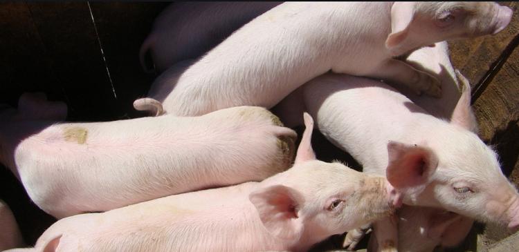 非洲猪瘟意想不到的传播途径1.png