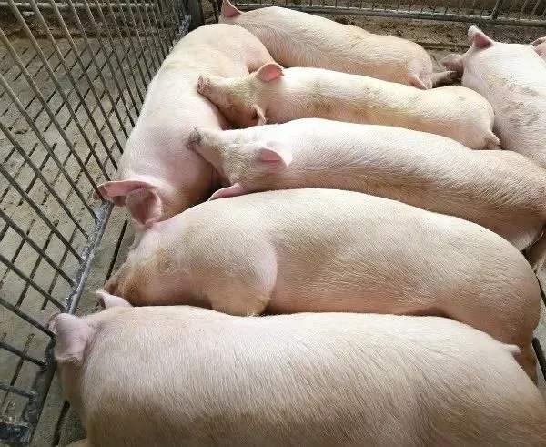 冬天猪咳嗽用药后效果却不好,这到底是为什么? 1.jpg