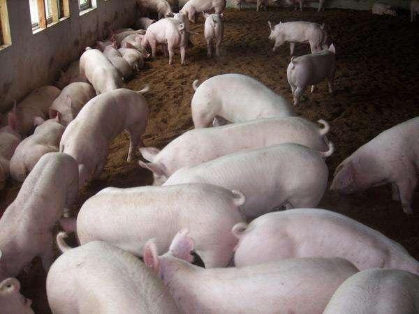 母猪产前要准备什么1.jpg