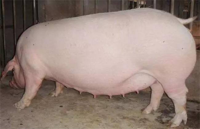 妊娠母猪不吃料的解决方案2.png