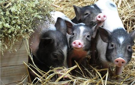 养猪知识:猪跛足的原因和防治的方法!1.png