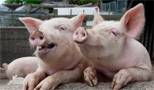 养猪知识:猪跛足的原因和防治的方法!.png