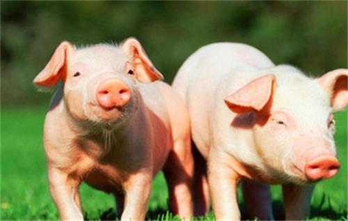 猪.png