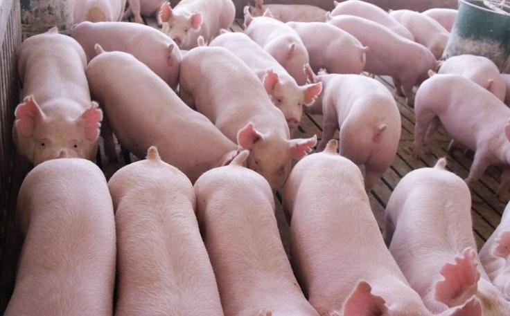 如何防止猪打架?想要快速解决,这三点很重要!.jpg