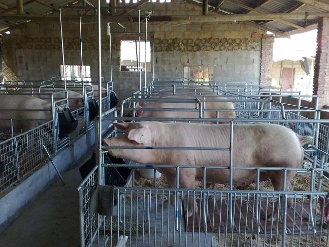 母猪产前要准备什么.jpg